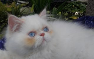 "Flame point, Himalayan, male kitten ""SOLD"""