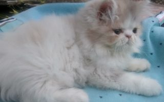 "Dilute Calico Persian female kitten ""SOLD"""
