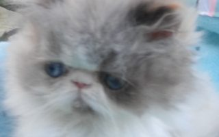 """Seal & white point Himayan, female kitten """"Available"""""""