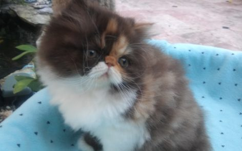"""Chocolate Calico, Persian female kitten """"Available"""""""