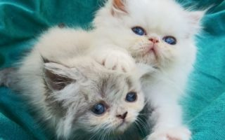 Persian and Himalayan kittens for sale - Persians and Himalayans