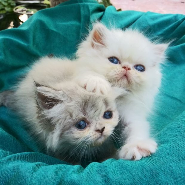 Seal & white pt. Himalayan female kittens