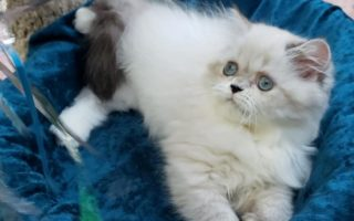 "Seal Lynx/white pt. Himalayan female kitten ""SOLD"""