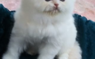 "Flame point Himalayan female kitten ""Reserved"""