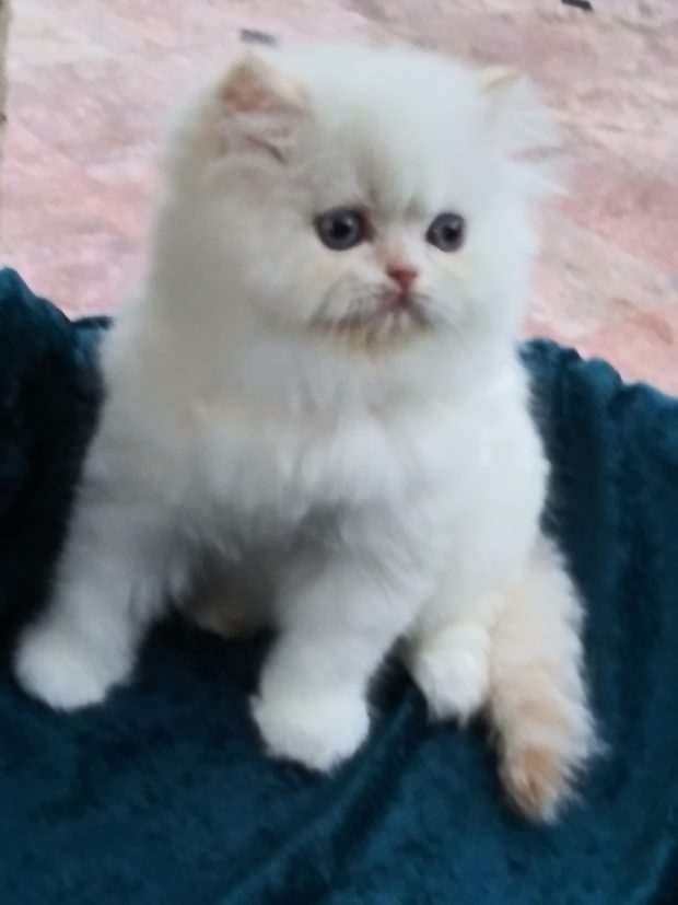 """Flame point Himalayan female kitten """"Reserved"""""""
