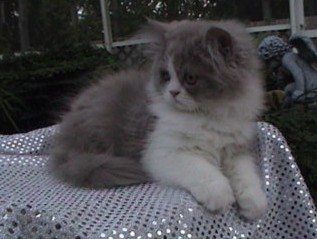 cute persian kitten lilac and white