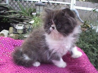 Black and white himilayan kitten for sale