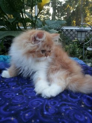 Red and White Female Persian Kitten 1