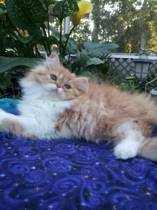 Red and White Female Persian kitten 2