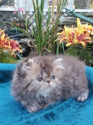 Chocolate Tabby Male Available pretty