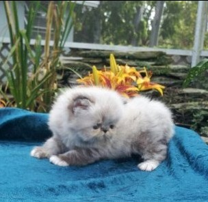 Seal and White Lynx Point Male Himalayan Kitten