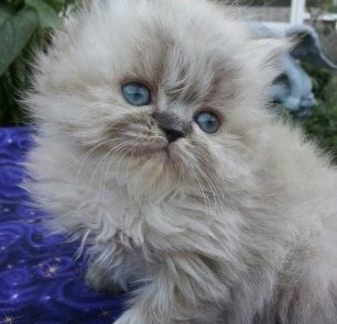 Seal Lynx point  Himalayan  Female * SOLD *