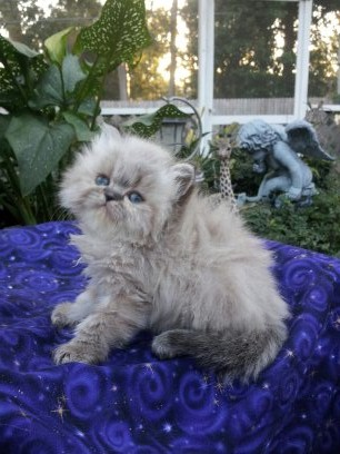 Seal Lynx pt. Himalayan Female Available