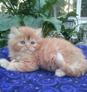 Red Tabby Male  *SOLD *