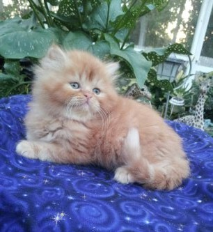 Red Tabby Persian Male