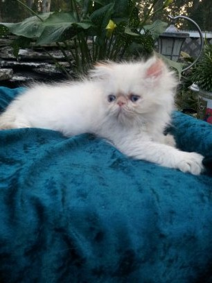 Flame Point  Himalayan  Male Kitten 1