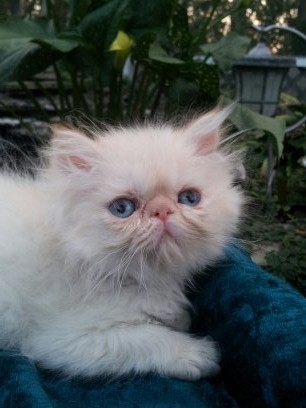 Flame Point  Himalayan  Male Kitten 2