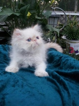 Flame point  Himalayan Male *SOLD*