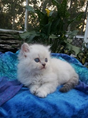 Blue Lynx point  Male  Himalayan  *SOLD*