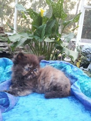 Tortoiseshell  Female  Persian *SOLD*