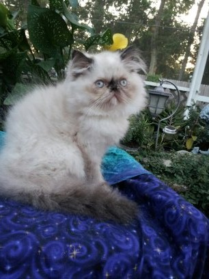 Tortie Point Female Himalayan Available 2