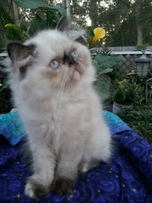 Tortie Point Female Himalayan *SOLD*