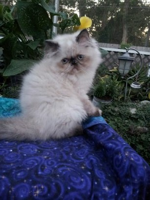 Tortie Point Female Himalayan Available 1