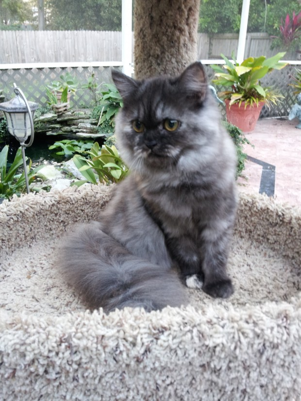 Silver Patched Tabby Female Persian Kitten 2