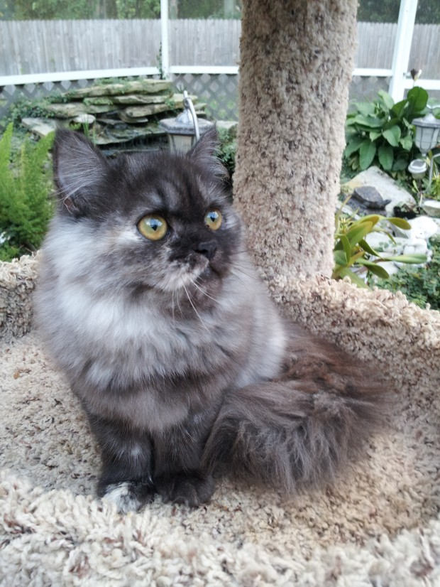 Silver Patched Tabby Female Persian Kitten 1