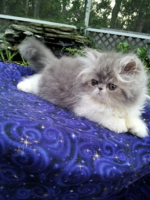 Blue and white Persian female  *Available* 3