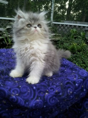 Blue and white Persian female  *Available* 2