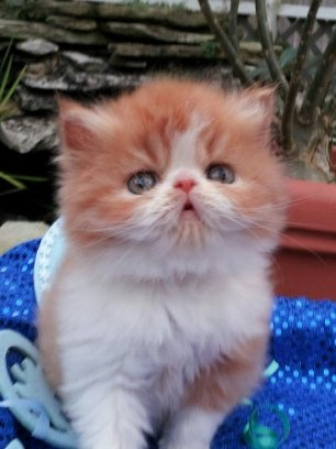 Red and White Male Persian Kitten 1