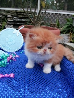 Red and White Male Persian Kitten 6