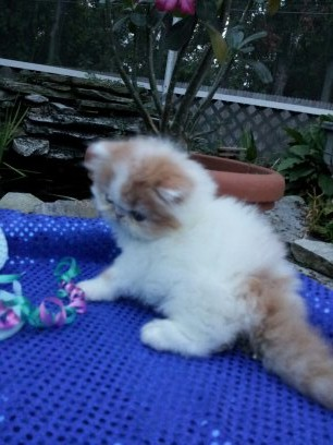Red and White Female Persian Kitten Available 2