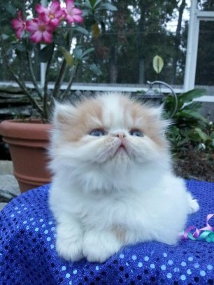 Red and White Female Persian Kitten Available 3