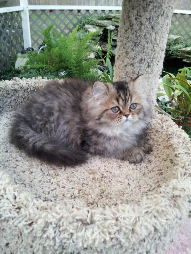 Brown Tabby Persian Kittens Available 2