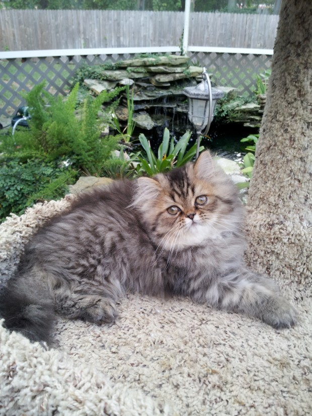 Brown Tabby Persian Kittens Available 1
