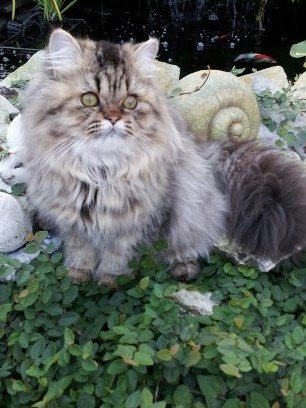 Golden  female  Persian  kitten