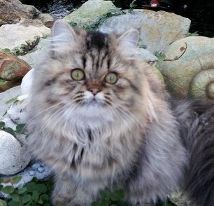 Golden  Female  Persian *SOLD*
