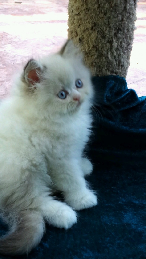 Chocolate and White Lynx  Point  Himalayan male kitten * Available*