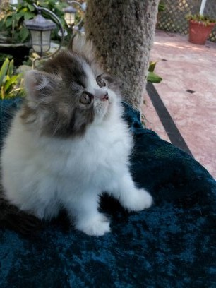 Brown Tabby Van  Female  Kitten  *Available*