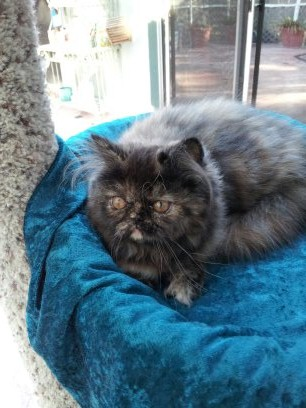 Chocolate Tortoiseshell  Female Persian kitten *SOLD*