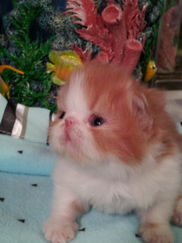 Red & white  Persian  Male  kitten  *SOLD*