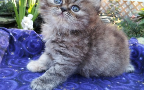 Golden (Chocolate) Tabby  Female  *SOLD*