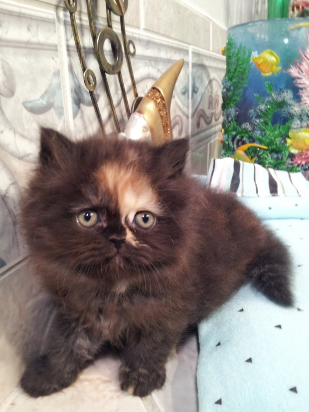 Tortoiseshell  Female  Persian kitten  * SOLD *
