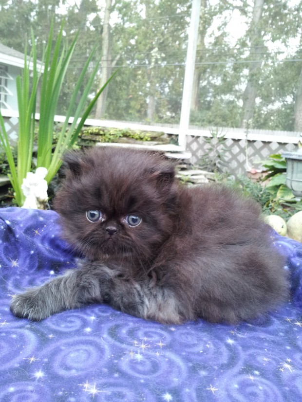 "Black  Persian  Male  kitten  ""SOLD"""
