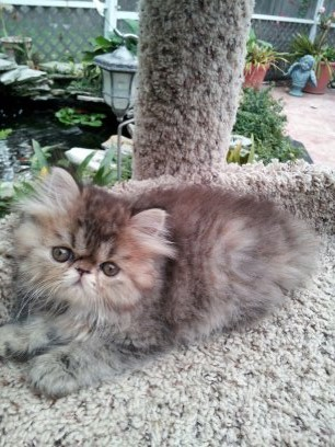 Golden (Brown) Tabby female Persian *SOLD*