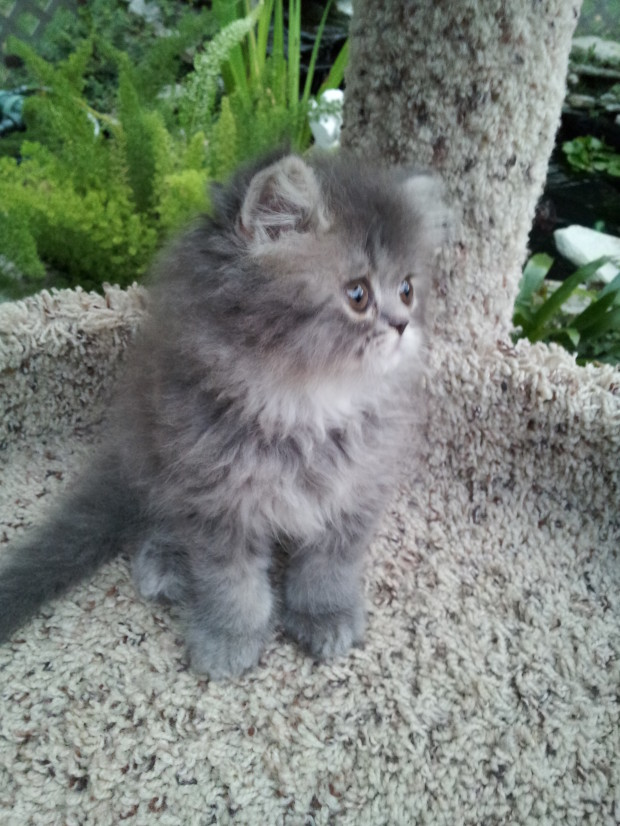 Blue Tabby (Doll face) female Persian  *SOLD*