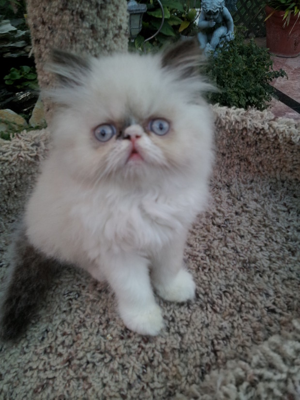 Seal and white point  Male  Himalayan   *SOLD*