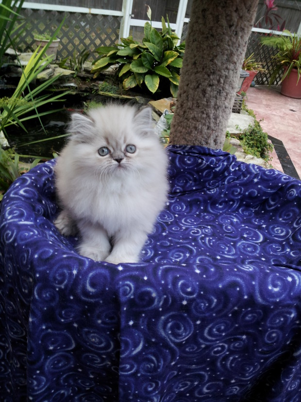 Blue Lynx point Himalayan Female kitten *SOLD*